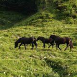 Seewaldsee-Pferde